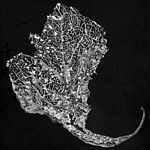 JS Lacy Leaf, 2015, black scratchboard, 8 x 8 in.